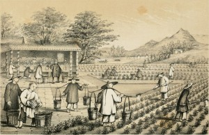 Tea preparation in China, 1847.