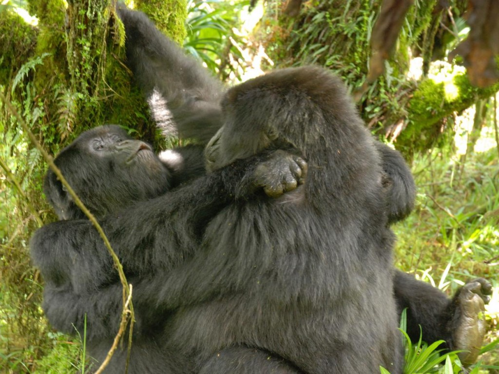 Researchers have documented the first detailed evidence of homosexual behaviour in female gorillas. Source: University of Western Australia